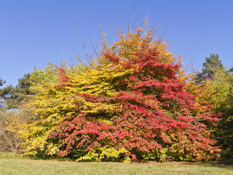 File:Botanischer_Garten_Berlin-Dahlem_10-2014_photo13_Parrotia_persica.jpg