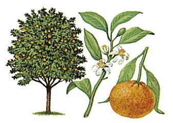 File:Mandariinipuu.jpg